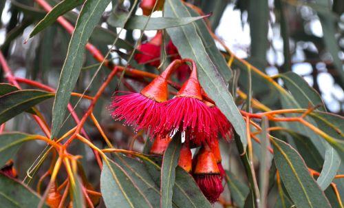 flowering gum flower
