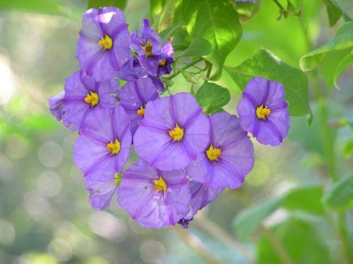 flowering shrub mauve