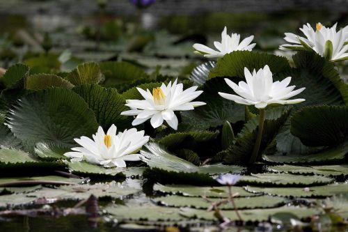 flowering nymphaea alba aquatic plants