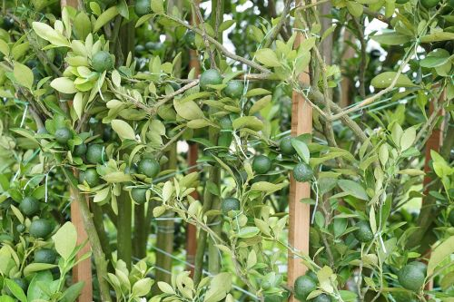flowering lime plant plant nursery retail nurseries