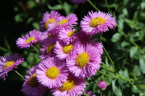 flowering  perennial  pink flowers