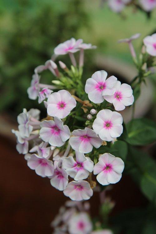 flowering  flowers  garden