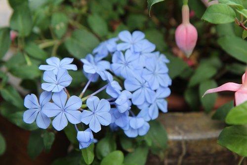flowering  blue flowers  fulfillment