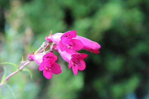 flowering  pink flowers  perennial