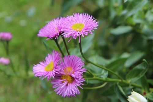 flowering  annual  nature