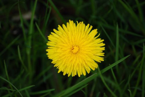 flowering dandelion nature