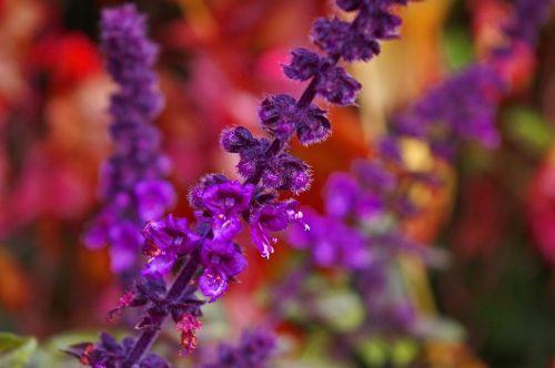 flowering basil basil herbs