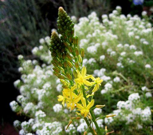 Flowering Bulbinella
