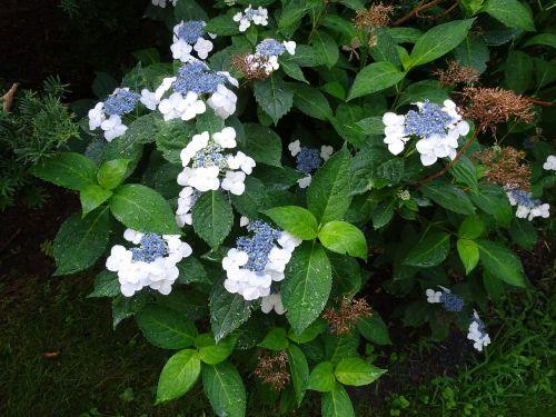 flowering bush white nature