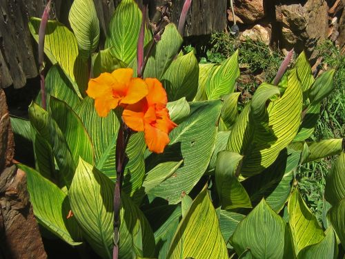 Flowering Canna Plants