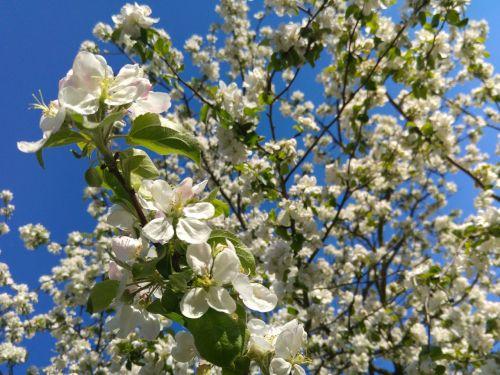 flowering crabapple spring apple flower