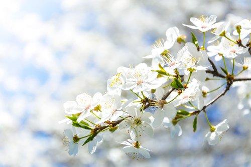 flowering crabapple  flower  cherry