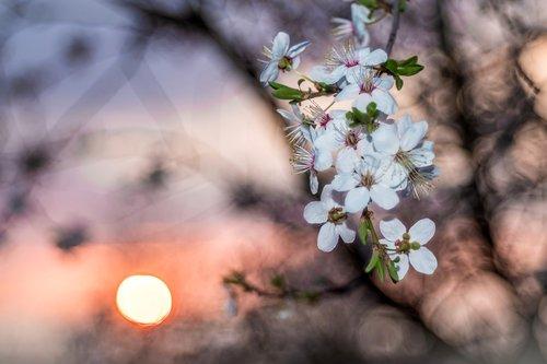 flowering crabapple  wild apple  the flowers on the tree