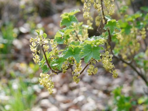 flowering currant currant blossom