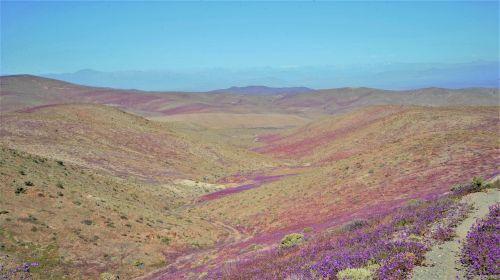 flowering desert flowering purple