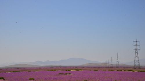 flowering desert sky electrical towers