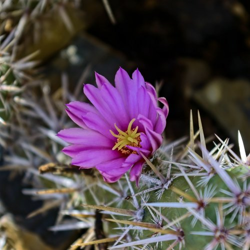 flowering fishhook cactus  cactus  flower
