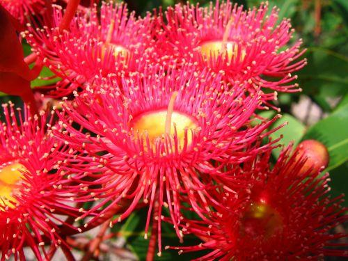 flowering gum native australian flower gum