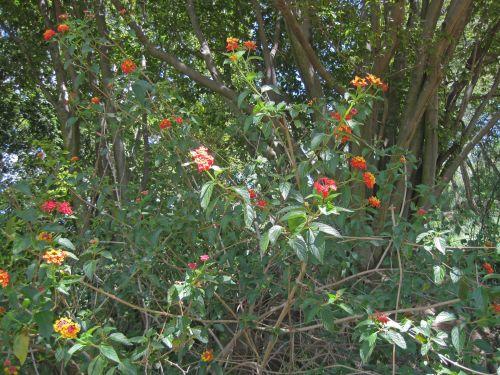 Flowering Lantana Shrub