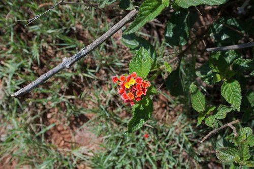 Flowering Lantana