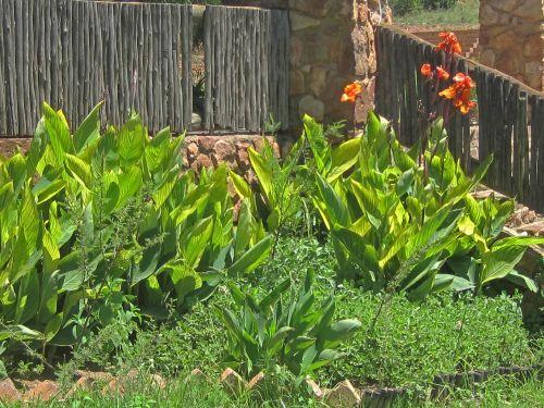 lapai, didelis, žalias, juostelės, geltona, kana, gėlės, oranžinė, žydintys oranžiniai kanalai