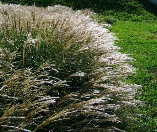 flowering ornamental grass silvery wind swaying