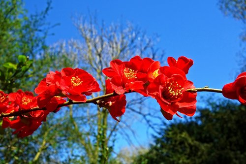 flowering quince  quince  blossom