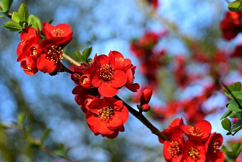 flowering quince  flower  branch