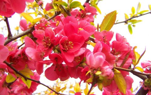 flowering quince japan pink spring flowers shrub