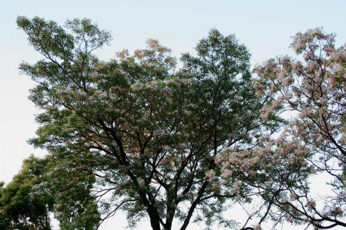 Flowering  Syringa Trees