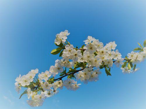 flowering sloe spring white flowers