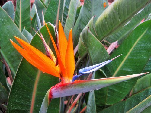 Flowering Strelitzia
