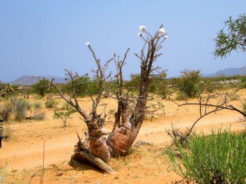 gėlė, žydėjimas, erškėtis & nbsp, medis, sausas, plikas, nevaisinga, kietas, akmeninis, uolingas, Namibija, dykuma, žydėjimas erškėtis