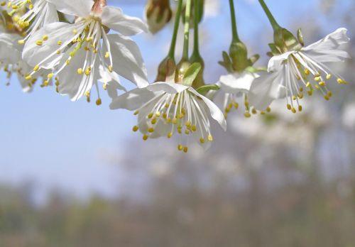 flowering tree cherry flowers