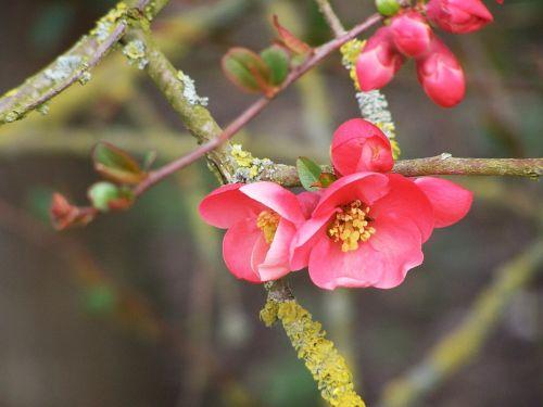 flowering tree spring bud