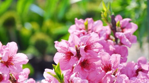 flowering tree fruity garden