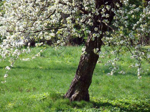 flowering tree flowers spring