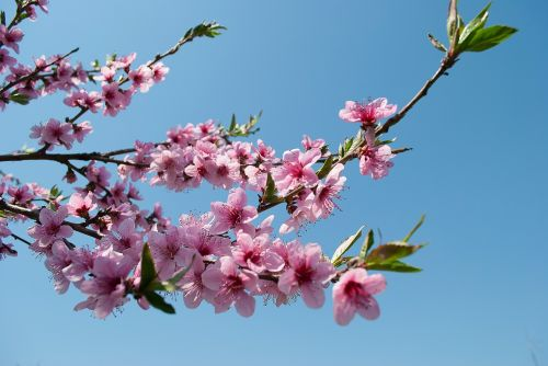 flowering tree petals petal