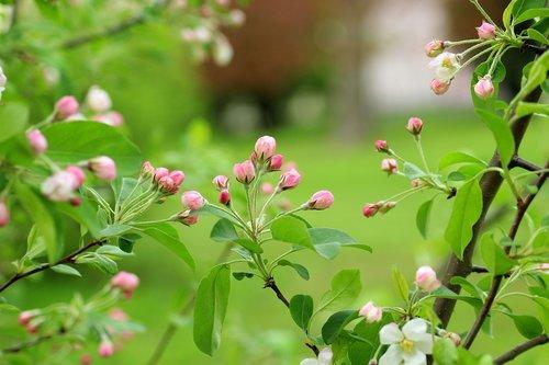 flowering tree  fruit tree  the buds
