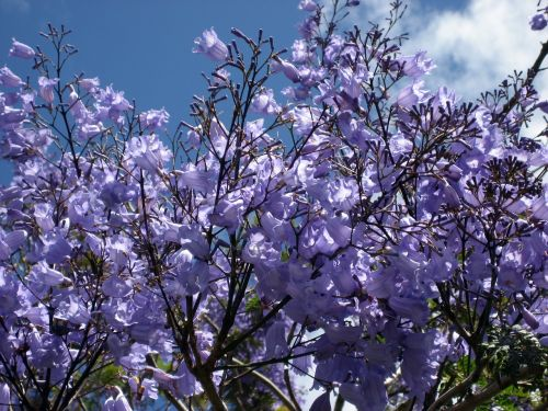 jacaranda blossoms blue flowering tree-fern