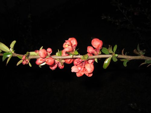 flowering twig ornamental quince quince