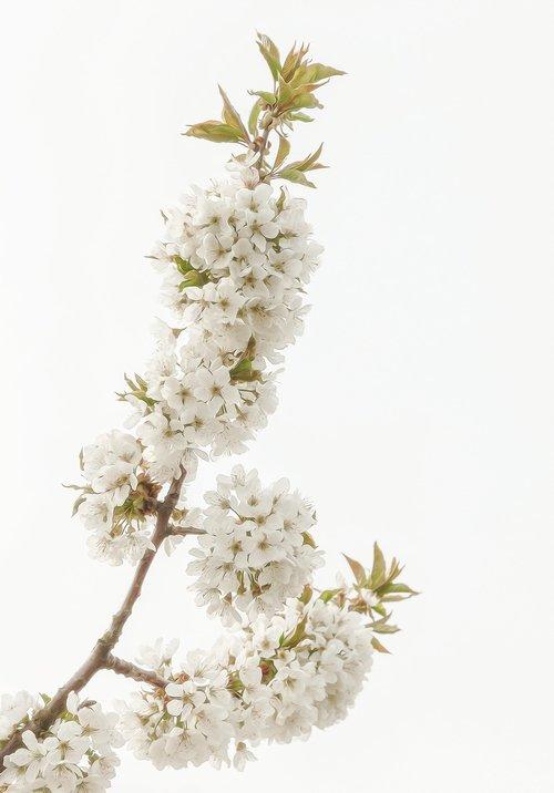 flowering twig  spring  white