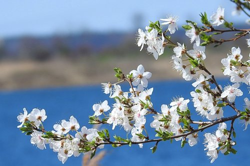flowering twig  flowers  blossom