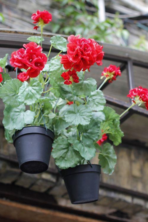 flowerpot hortensia red