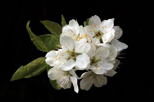 flowers blossom spring