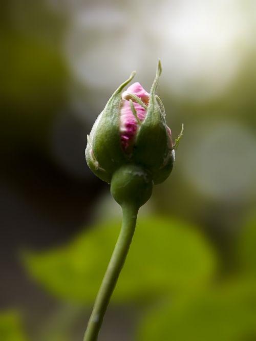 flowers rosebud nature