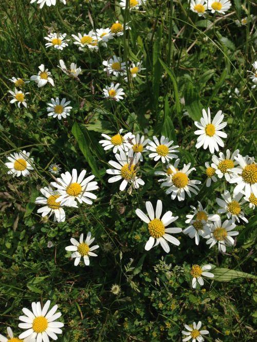 flowers summer daisies