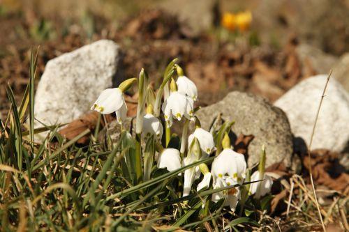 snowdrop flowers grass