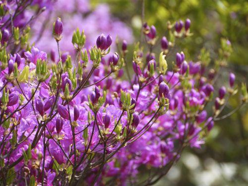 flowers azalea mount azalea