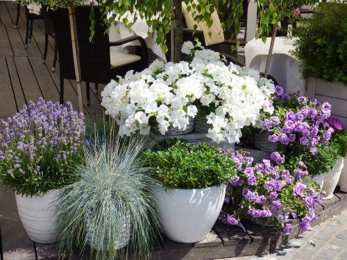gėlės,puodą,puodai,levanda,Gelės vazonas,gamta,puodai